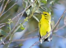 Amarelo um Imagem de Stock Royalty Free