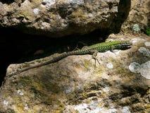 Amarelo verde salamandra pontilhada do lagarto em rochas de pedra musgosos foto de stock royalty free