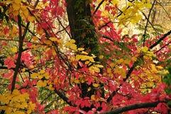 Amarelo, vermelho, folhas do verde Imagens de Stock Royalty Free