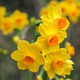 Amarelos brilhante dos junquilhos e laranja 3 Foto de Stock