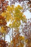 Amarelos e vermelhos na floresta da queda imagens de stock