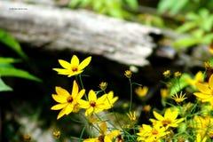 Amarelos na madeira Foto de Stock Royalty Free