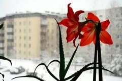 Amarilis开花在冬天城市背景中 免版税图库摄影
