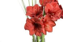 amarilis blommar röd white Arkivfoton