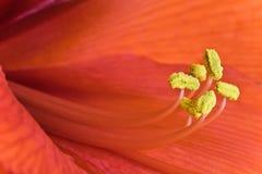 Amarilis floreciente de la flor del invierno rojo con los pistilos amarillos con los detalles macros Imagen de archivo