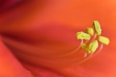 Amarilis floreciente de la flor del invierno rojo con los pistilos amarillos con los detalles macros Imagenes de archivo