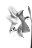 Amarilis flower royalty free stock images