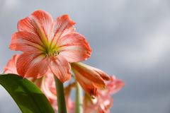 Amarilis kwitnie przeciw nieba tłu Zdjęcie Royalty Free