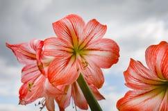 Amarilis kwitnie przeciw nieba tłu Fotografia Royalty Free