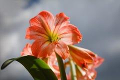 Amarilis kwitnie przeciw nieba tłu Zdjęcie Stock