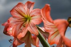 Amarilis kwitnie przeciw nieba tłu Obraz Royalty Free