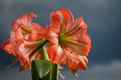 Amarilis kwitnie przeciw nieba tłu Obraz Stock