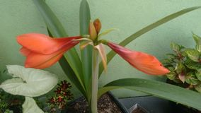 Amarilis stock photo
