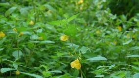 Amarilléeme Tacto--no la cámara estática video del pétalo HD de la flor del bálsamo metrajes
