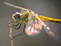 Amarilla de Libelula Foto de archivo