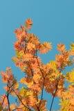 Amarilla, la naranja se va en los árboles del otoño y el cielo azul Imagenes de archivo