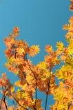 Amarilla, la naranja se va en los árboles del otoño y el cielo azul Fotos de archivo