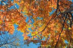 Amarilla, la naranja se va en los árboles del otoño y el cielo azul Fotografía de archivo libre de regalías