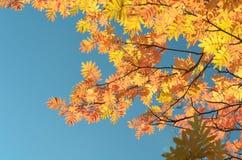 Amarilla, la naranja se va en los árboles del otoño y el cielo azul Foto de archivo libre de regalías
