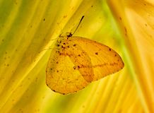Amarilla sobre hoja de platano de Mariposa Imagen de archivo libre de regalías