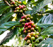 Amarillea el café en el árbol Imágenes de archivo libres de regalías