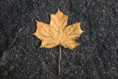 Amarillee caído del árbol en la hoja de arce mojada del asfalto autum Foto de archivo libre de regalías