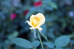 Amarillee color de rosa imagen de archivo