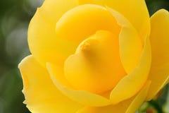 Amarillee color de rosa Fotografía de archivo