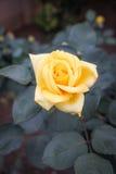 Amarillee color de rosa fotos de archivo