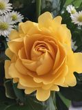 Amarillee color de rosa Fotografía de archivo libre de regalías