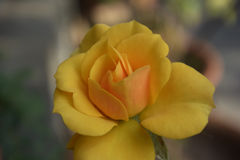 Amarillee color de rosa Imágenes de archivo libres de regalías