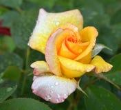 Amarillee color de rosa con gotas del agua Fotografía de archivo libre de regalías
