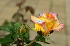 Amarillee color de rosa con gotas del agua Imágenes de archivo libres de regalías