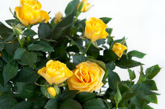Amarillee color de rosa en fondo ligero Fotografía de archivo libre de regalías