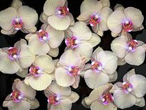 Amarillee con el modelo de flores púrpura de la orquídea en fondo negro Fotos de archivo
