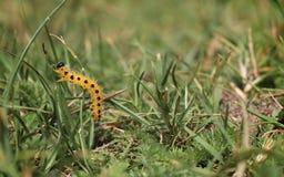 Amarillee con la oruga de los puntos negros encima de su hierba Imagenes de archivo
