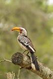 Amarillee el Hornbill cargado en cuenta Fotos de archivo