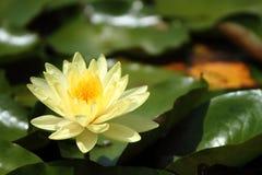 Amarillee el loto Fotografía de archivo
