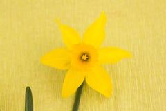 Amarillee el narciso Fotos de archivo