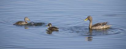 Amarillee el pato cargado en cuenta en una charca del agua azul con los anadones Fotografía de archivo libre de regalías