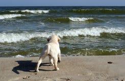 Amarillee el perrito de Labrador que mira el mar Foto de archivo libre de regalías