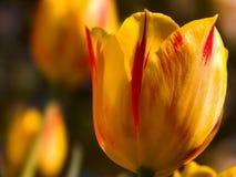 Amarillee el primer del tulipán   Fotos de archivo libres de regalías