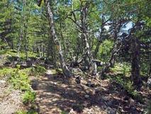 Amarillee el sendero marcado en el bosque del abedul y del pino Fotos de archivo