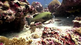 Amarillee el submarino manchado de los pescados en fondo del fondo del mar asombroso en Maldivas metrajes
