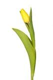 Amarillee el tulipán Foto de archivo libre de regalías