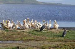Amarillee la cigüeña cargada en cuenta en el lago Nukuru de la orilla Fotos de archivo libres de regalías