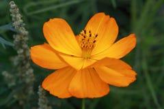 Amarillee a la flor anaranjada del sulphureus de Cosmea de la salida del sol de Cosmea Fotografía de archivo libre de regalías