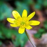 Amarillee la flor del ranúnculo el resorte Foto de archivo