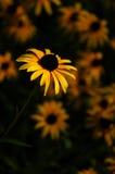 amarillee la margarita Fotos de archivo