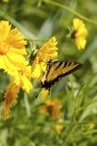 Amarillee la mariposa Foto de archivo